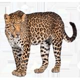 Раскраска Леопард с целью детей