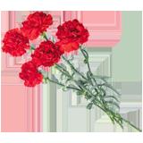 Раскраска цветок Гвоздика - распечатать в формате А4