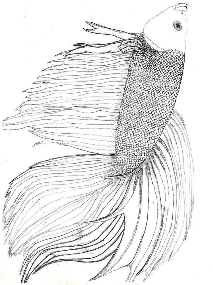Раскраска Бойцовская рыба (Петушок). Скачать и распечатать ...
