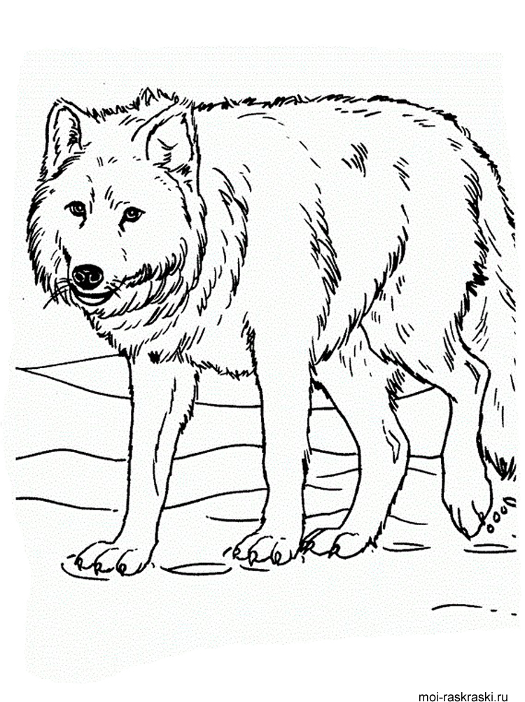 Волки картинка раскраска 78