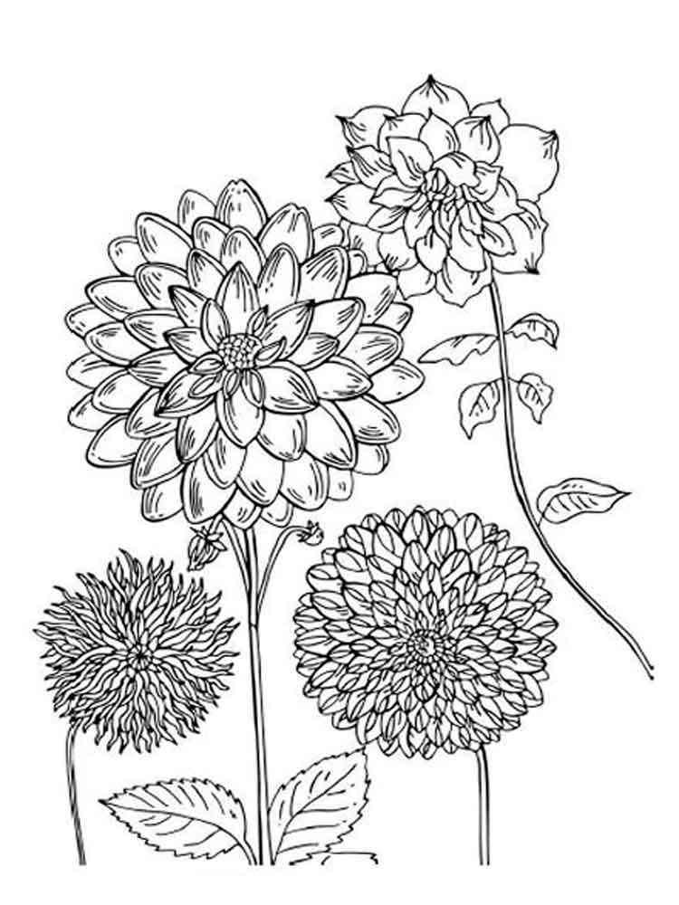 самой раскраска цветок астра распечатать характеризуется