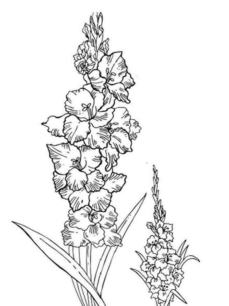 Раскраска цветок Гладиолус - распечатать в формате А4