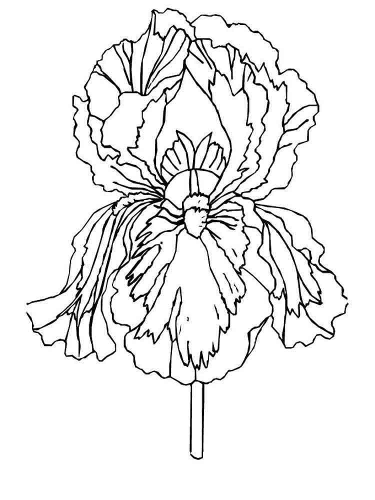 Раскраска цветок Ирис - распечатать в формате А4
