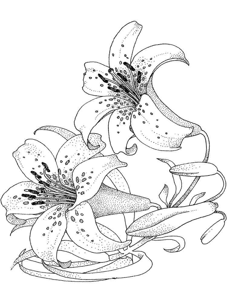 Распечатать раскраску цветы лилии