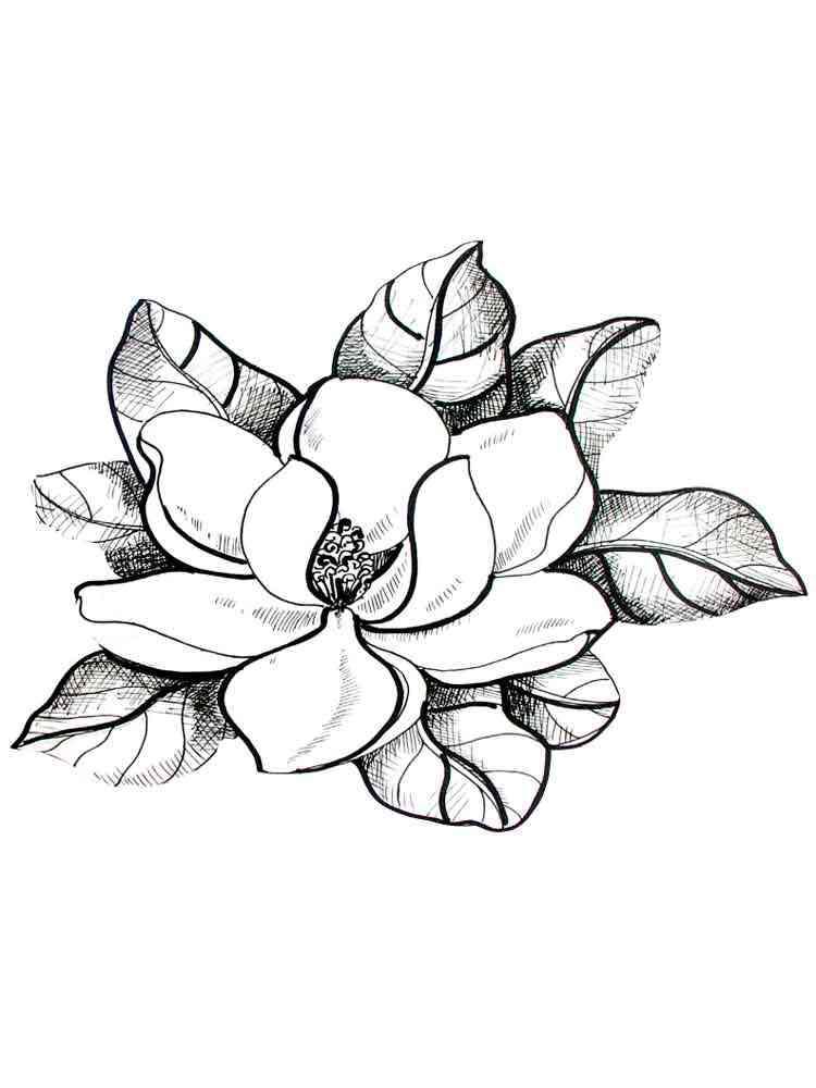 Раскраска цветок Магнолия  распечатать в формате А4