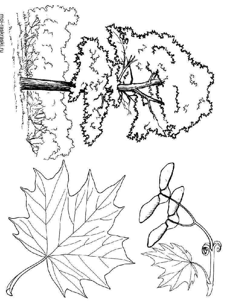 Раскраска Клен - распечатать в формате А4