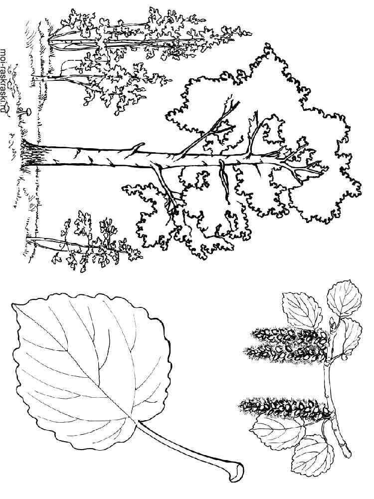 Раскраска Осина - распечатать в формате А4