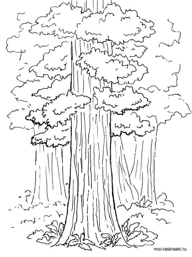 Раскраска Секвойя - распечатать в формате А4
