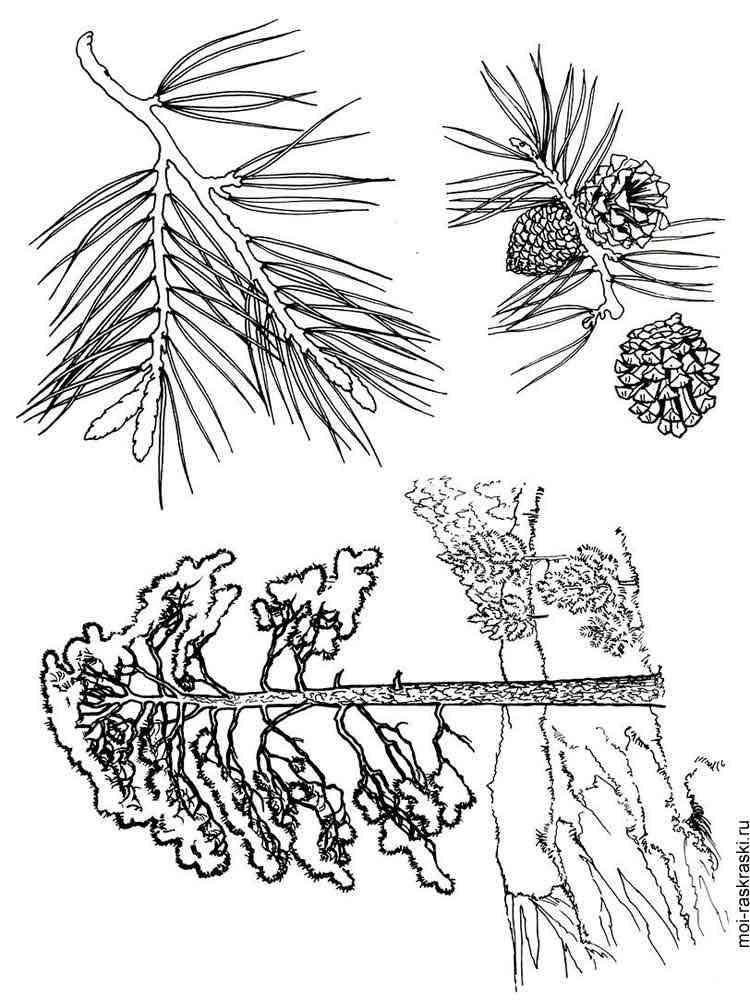 раскраска сосна дерево мозга его взаимосвязь