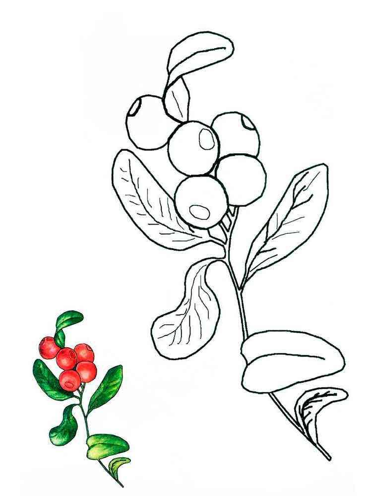 Раскраска ягода Брусника - распечатать в формате А4