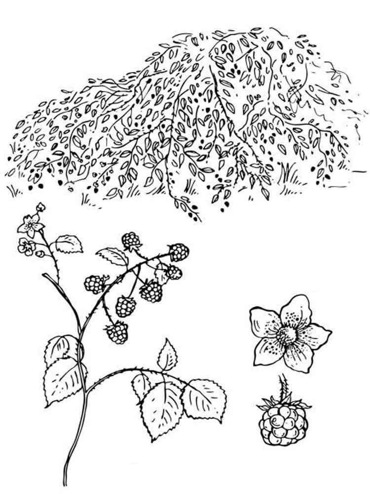 Раскраска Ежевика - распечатать в формате А4