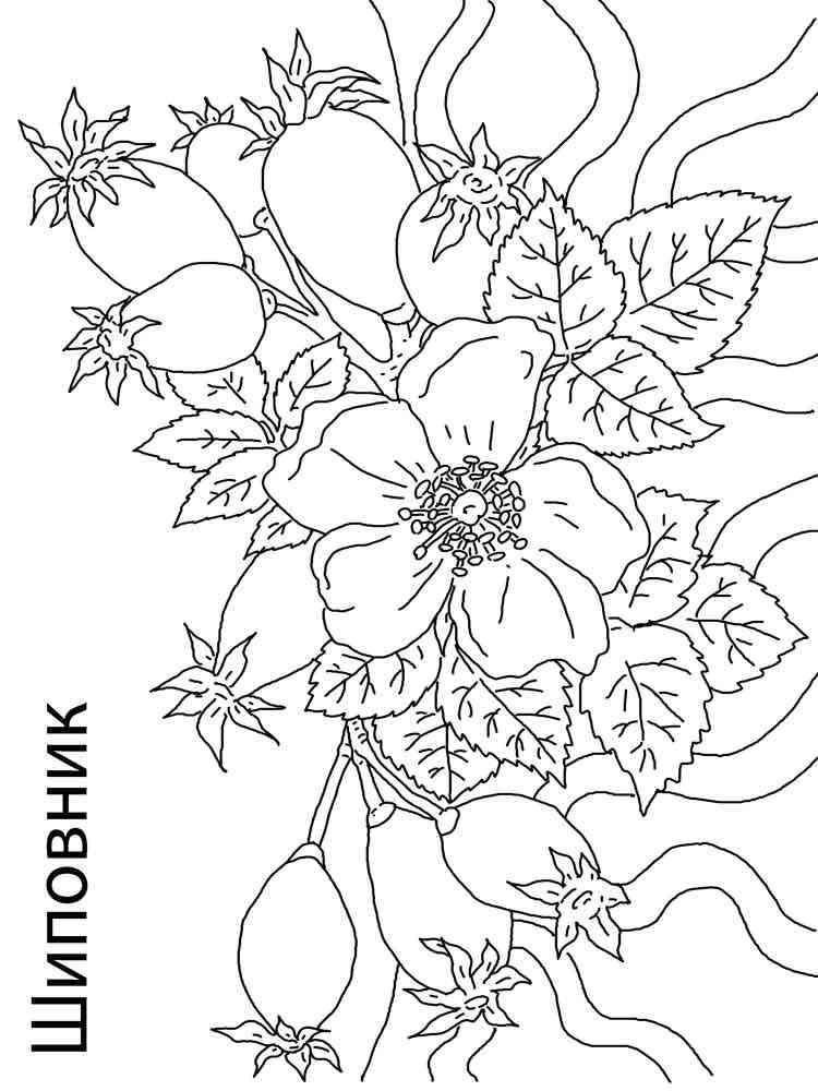 Раскраски Шиповник - распечатать в формате А4
